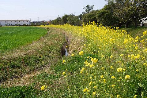 菜の花畑と麦畑