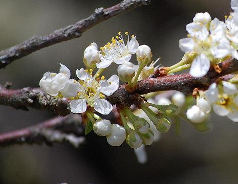 スモモ開花