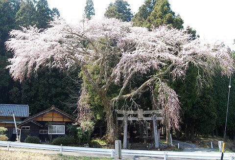 菅沼のシダレザクラ1