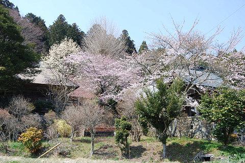 楽法寺の桜など