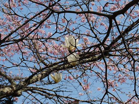 桜とコブシの花