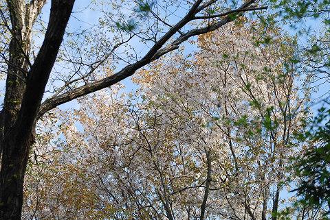 森の中のヤマザクラ