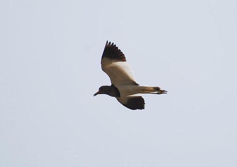 飛ぶケリ1
