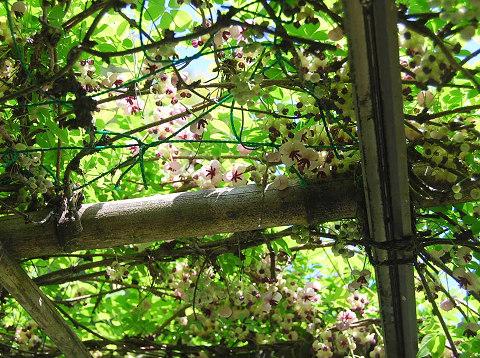 アケビの開花