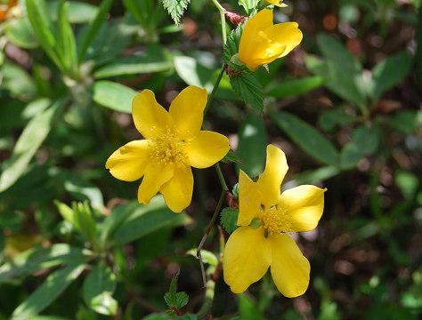ヤマブキの開花