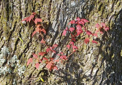 ハナノキの葉