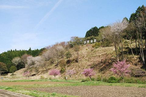 亀山城趾のヤマザクラ
