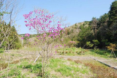 庄の沢湿地入り口のミツバツツジ