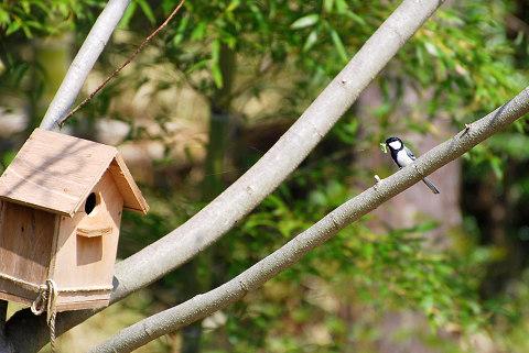 シジュウカラと巣箱