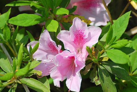 サツキの開花1