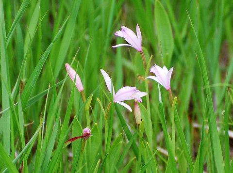 トキソウ開花