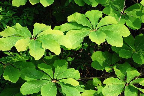 ホウノキの葉