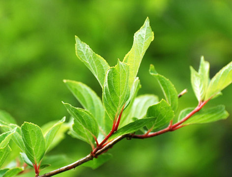ノリウツギの若芽