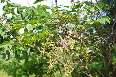 ヤマウルシの花