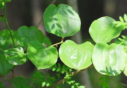 サルトリイバラの葉