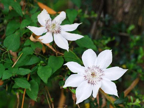 咲いたカザグルマ
