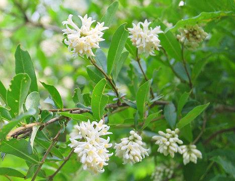 イボタノキの花1