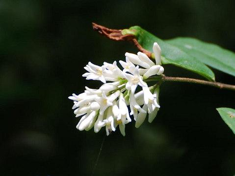イボタノキの花2