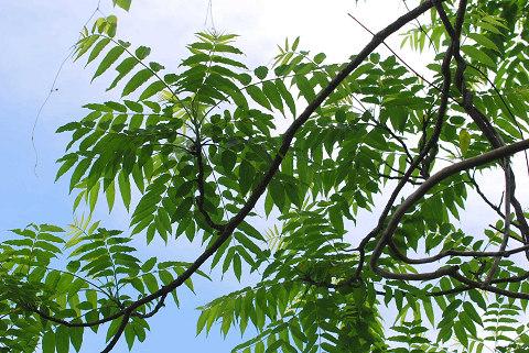 カラスザンショウの葉