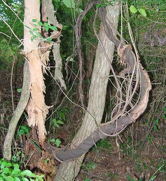 太いクズの木