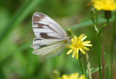 白いチョウ
