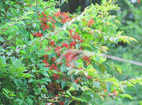 ヤブデマリの赤い実