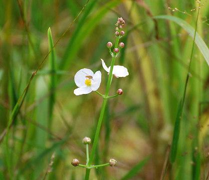 オモダカの花