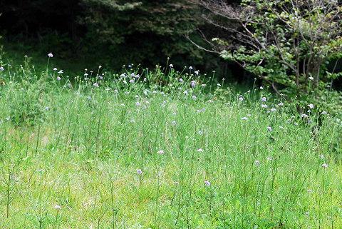 マツムシソウの草原