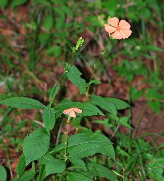 フシグロセンノウの花