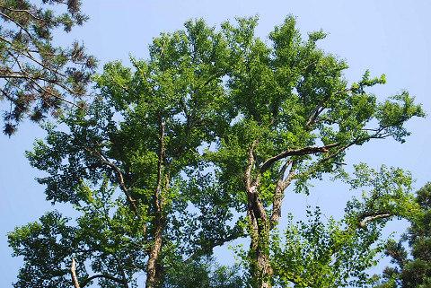 カツラ樹冠