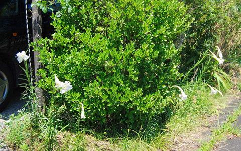 庭のタカサゴユリ
