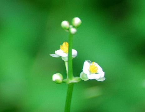 オモダカの花アップ