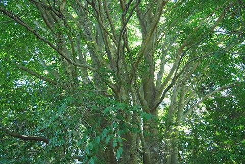 ブナの枝ぶり