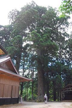 白鳥神社の大杉