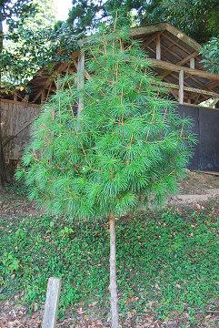 コウヤマキ幼樹