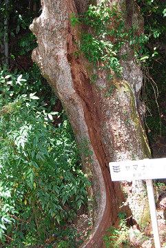 ヤマナシの古木