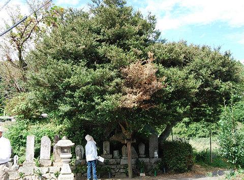 イヌツゲの巨木1