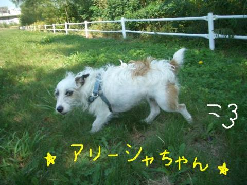 2008.9.16 シュリお散歩デビュー 033    ☆