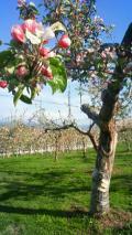 apple_flower.jpg