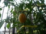 tomato_fruit.jpg