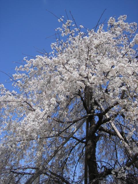 枝垂れ桜は満開!