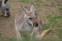 kangaroo02.jpg