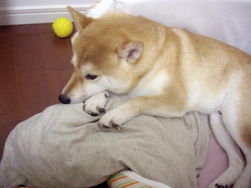 柴犬ズン画像 疲れた