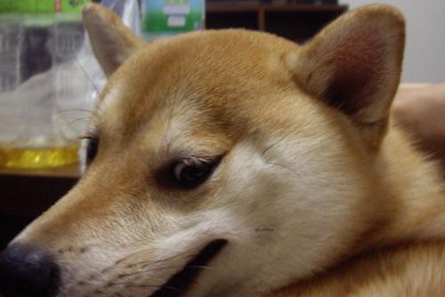 柴犬ズン画像 悪人??