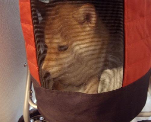 柴犬ズン画像 微妙だ