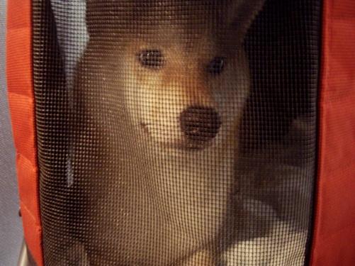 柴犬ズン画像 何これ