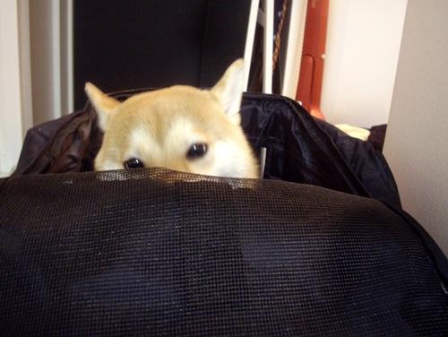 柴犬ズン画像 暑いな