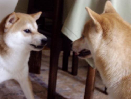 柴犬ズン画像 ムキむき