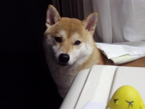 柴犬ズン画像 あの~