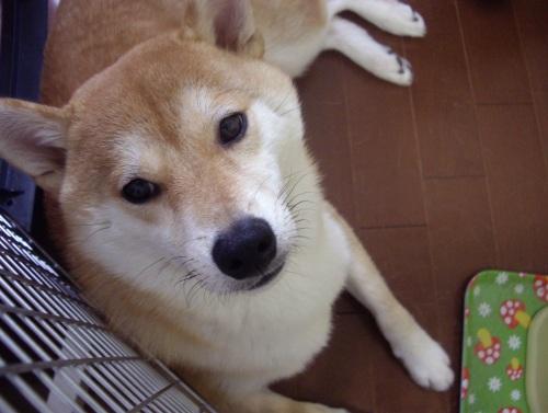 柴犬ズン画像 ご飯ください